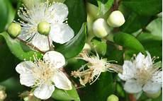 fiori di mirto significato mirto nel linguaggio dei fiori
