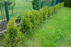 thuja brabant pflanzen thuja brabant werden braun was kann die ursache sein und