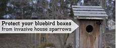 house sparrow trap plans bird houses plans joy studio design gallery best design