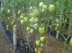 culture de tomates hors sol en cote d ivoire chez expertiz