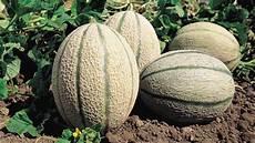 quand cueillir les melons melon