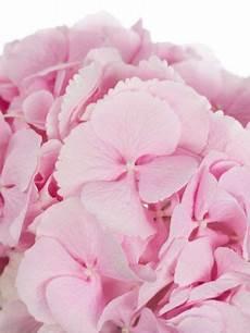 hortensien umpflanzen september hortensie quot verena quot rosa hortensien hochzeitsblumen