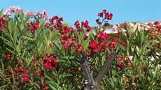oleander pflege und schnitt oleander schneiden fr 252 hjahr oder sp 228 tsommer