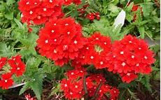 fiori perenni da vaso fiori da giardino perenni fare giardinaggio fiori perenni