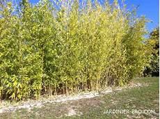 faire une haie qui pousse vite haie de bambou dor 233 phyllostachys aurea prix croissance