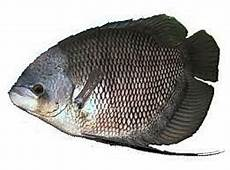 Cara Budidaya Pemijahan Ikan Gurame