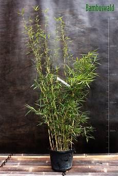 fargesia robusta cbell zebra bambus bambus ohne
