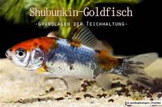 goldfisch haltung im teich shubunkin goldfisch im teich halten grundlagen anleitung