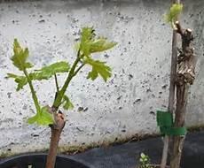 pflanzen veredelungsstelle garten obstgarten ratgeber proplanta de