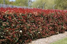 photinia x fraseri robin hedge search
