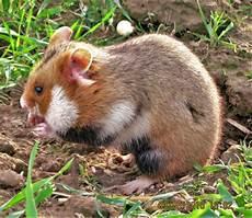Was Essen Mäuse In Der Natur - hamster d europe wikip 233 dia