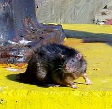 milder winter beschert deutschland eine rattenplage welt