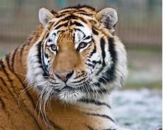 Harimau Siberia Bahasa Melayu Ensiklopedia Bebas