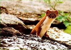 Musang Foto Spesies Gaya Hidup Binatang 2020