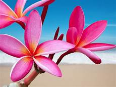 Flower Desktop Wallpaper by Plumeria Pink Flower Desktop Background 511865