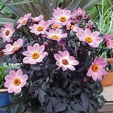 dahlie happy day pink 1 pflanze im 12 cm topf