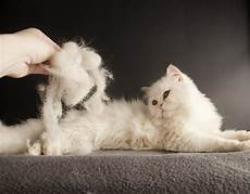 cat hair how to deal with cats and shedding cattime