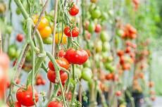 aussaat anbau und kultur tomaten ethnobotanik