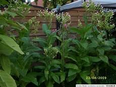 tabakpflanzen als balkonpflanze f 220 r balkon terasse