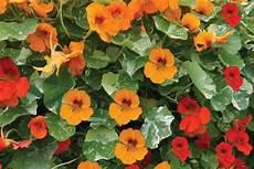 elpflanzen und hängepflanzen garten schnellwachsende kletterpflanzen kletterpflanzen