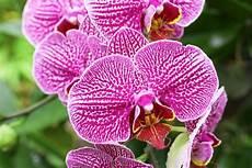 immagini fiori orchidee come coltivare le orchidee in casa donnad