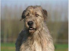 Lévrier irlandais : chien et chiot. Irish Wolfhound