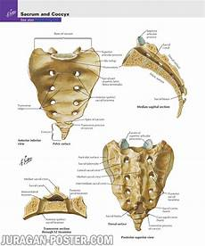02 Back And Spinal Cord Jual Poster Di Juragan Poster