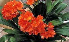 amaryllis giftig für katzen die giftigsten zimmerpflanzen f 252 r katzen mein sch 246 ner garten