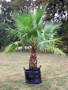 Palmen Für Den Garten - mexican fan palm search gardening flowers fruit