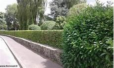 laurier haie pas cher laurier 125 150 cm vente en ligne arbustes pour