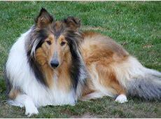 Honden foto: Schotse Herdershond, Langhaar