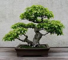 Ficus Benjamina Basic Care Of Bonsai