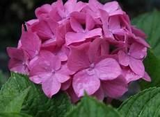 hortensia plantation et entretien pour une floraison