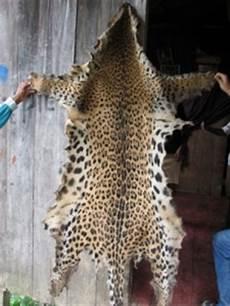 jaguar fur coat how can eco tourism protect jaguars from extinction