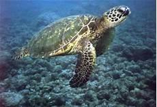 Fenomena Fenomena Foto Foto Penyu Sea Turtle