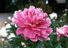 fiore flowers flowers peony flower