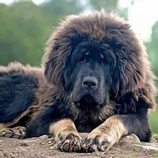 Record Un Mastiff Du Tibet Vendu 1 4 Millions D Euros