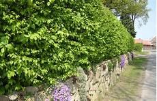 schnell wachsende sträucher schnellwachsende heckenpflanzen g 228 rtnerei klein ber 223 en