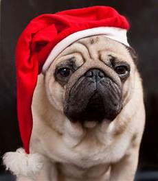 30 christmas pugs who really don t like you and the entire world best art
