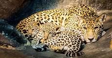 sur la terre des jaguars jaguar zoo de granby