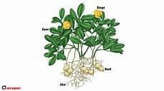 Sifat Dan Ciri Tanaman Kacang Tanah