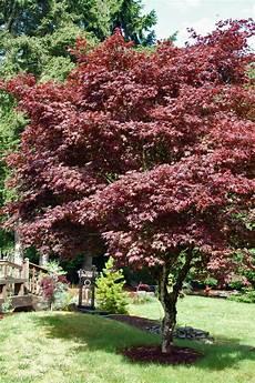 acer palmatum var atropurpureum japanese maple for sale