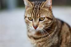 Malvorlage Gestreifte Katze Gestreifte Katzen Bilder 187 Bilddatenbank 187 Stockfotos