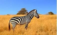 zebra bild junior die kinderzeitschrift