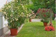 Oleander Draussen überwintern - so 252 berwintern sie den oleander richtig