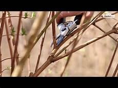 sträucher schneiden bei str 228 ucher schneiden dehner ratgeber