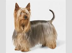 Silky Terrier Dog Breed Profile