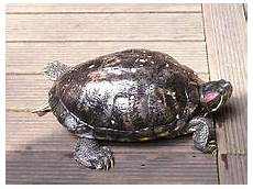 tortue eau douce aquarium tortue aquatique wikip 233 dia