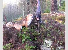 De reis van een herdershond van 8 weken tot 8 maanden