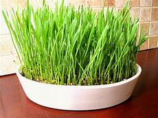 wheat grass centerpiece 7 10 days from planting to